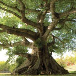 MU1508 - Kapok Tropical Tree