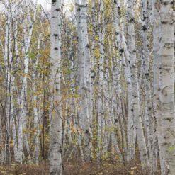 MU1457.01 - Canadian Birch Forest